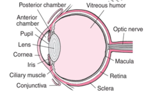 Biology questions and answers form 4 high school biology exams q a iii how is the human eye adapted to its function ccuart Images