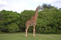 Lake Nakure, Giraffes