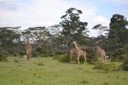 Lake Nakuru Giraffes and Zebras