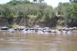 Mara River Hippos