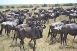 Masai Mara Worldebeests